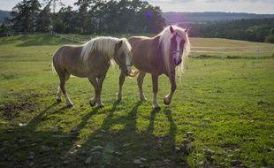 Illustration des chevaux dans un champs