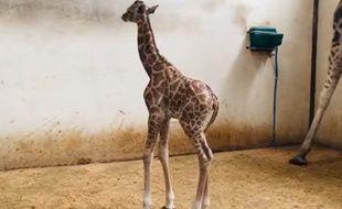 Un petit girafon est né au zoo du Bassin d'Arcachon.