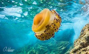 Un spécimen de méduse «œuf au plat».