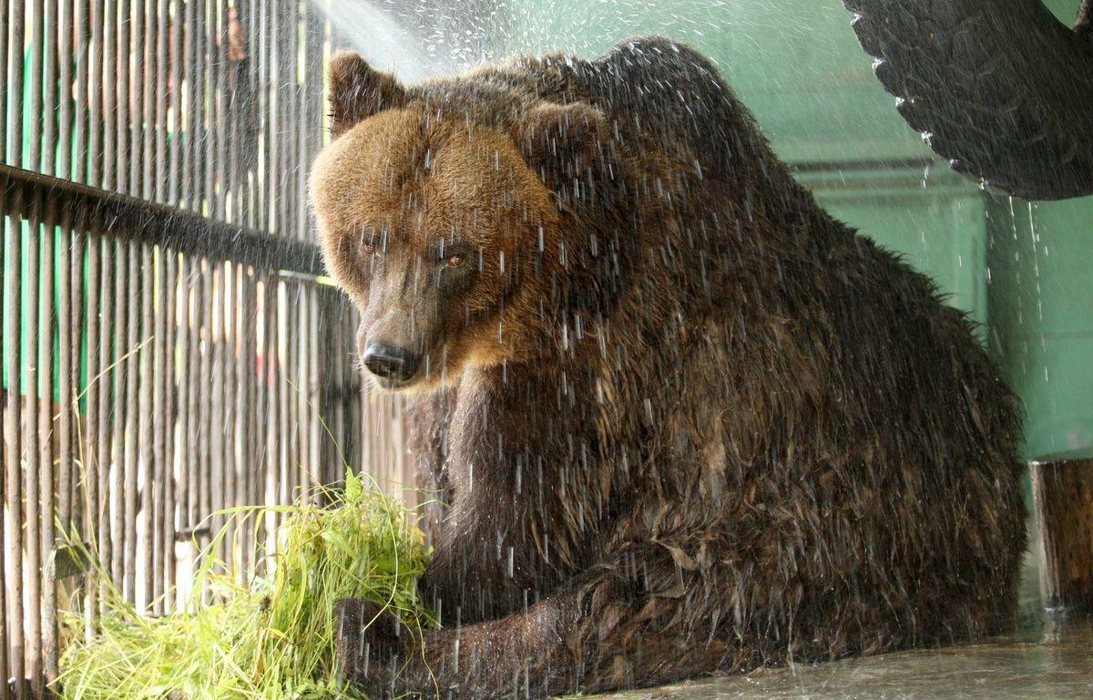 Un ours brun au zoo de Saint-Pétersbourg, en Russie, le 15 juin 2010. – KIRILL KUDRYAVTSEV / AFP