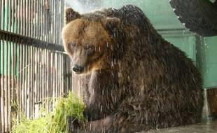 Un ours brun au zoo de Saint-Pétersbourg, en Russie, le 15 juin 2010.