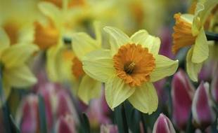Des jonquilles et des tulipes.