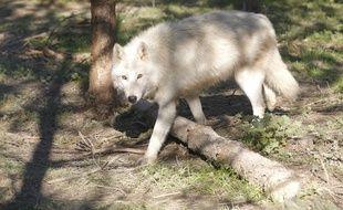 Un loup dans un parc animalier. (Illustration)