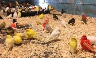 Une partie des canaris et perruches sauvés de l'euthanasie.