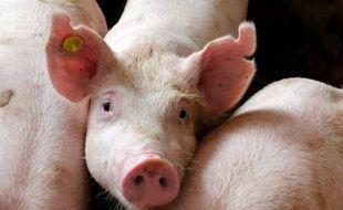 Des porcs d'élevage.