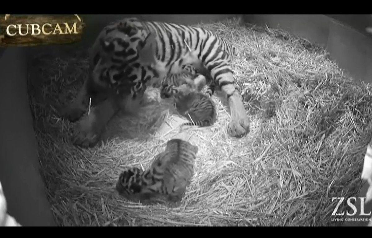 Melati, la tigresse de Sumatra du zoo de Londres, avait donné naissance à trois petits le 3 février 2014. – Capture d'écran caméra ZS
