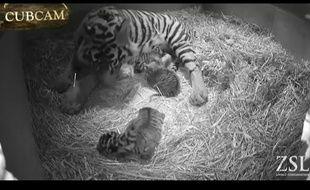 Melati, la tigresse de Sumatra du zoo de Londres, avait donné naissance à trois petits le 3 février 2014.