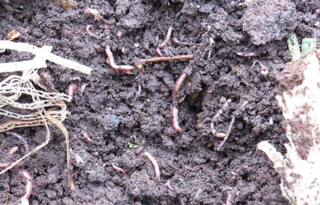 Des vers de terre voraces qui nous débarassent des biodéchets.