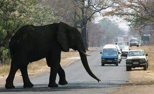 Un éléphant traverse une rue de Livingstone, en Zambie