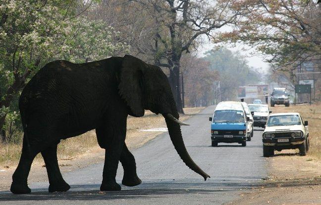 nouvel ordre mondial | Zambie: Deux touristes piétinés à mort par un éléphant en voulant le photographier de près