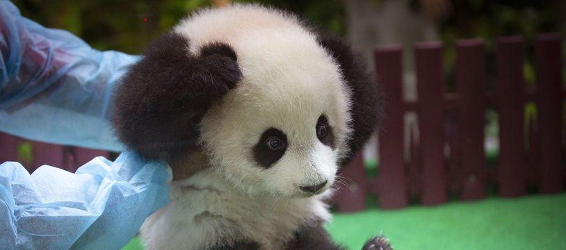 Une petite panda femelle de quatre mois a été présentée samedi au public au zoo national de Kuala Lumpur