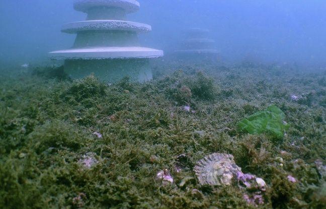 Des blocs de béton ont été immergés pour favoriser l'implantation des huîtres plates.