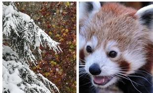 Collage d'une illustration de neige et d'un panda roux.