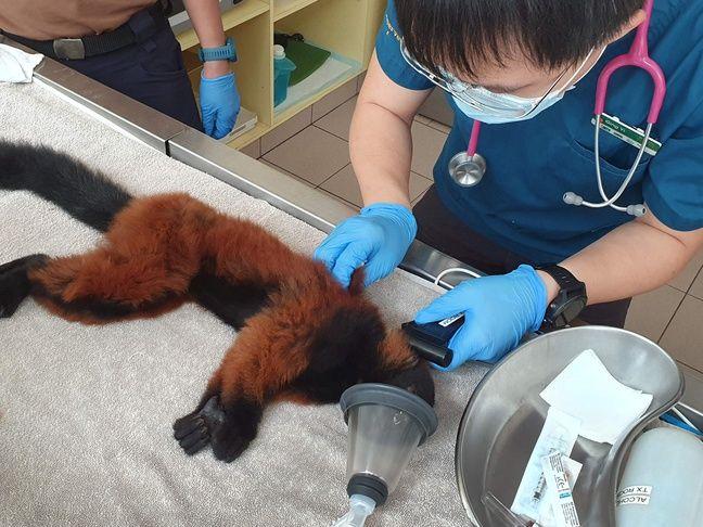 Examen de santé final et puçage pour l'un des deux petits lémuriens nés au zoo de Singapour en juillet.