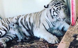 Les jeunes tigres sont nés le 27 mars à Trets, près d'Aix-en-Provence.