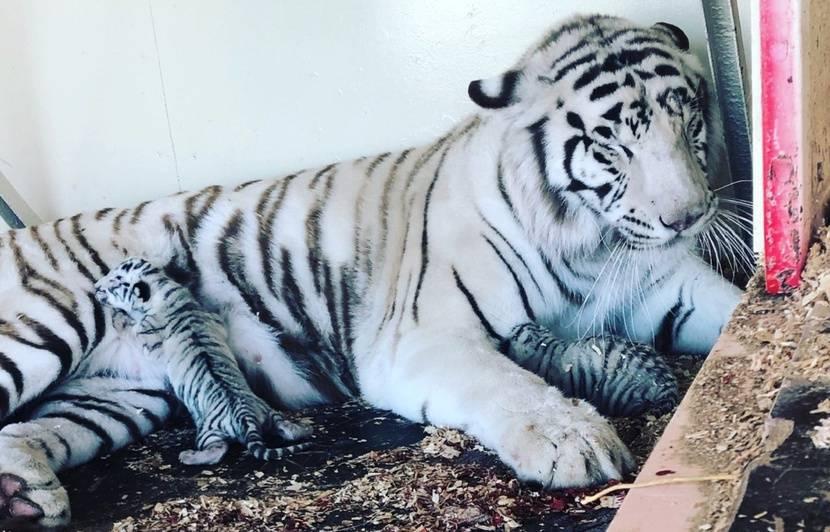 VIDEO. Bouches-du-Rhône: Des bébés tigres blancs sont nés... dans une maison de retraite pour fauves