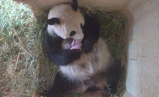 Un panda a donné naissance à des jumeaux sans avoir eu recours à insémination artificielle dans le zoo de Vienne (Autriche) le 7 août 2016.