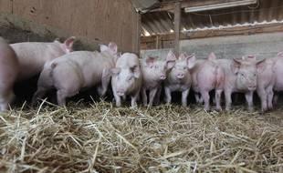Illustration d'un élevage porcin