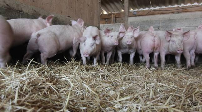 Coronavirus en Bretagne : Une coop agricole porcine va verser une prime aux salariés vaccinés