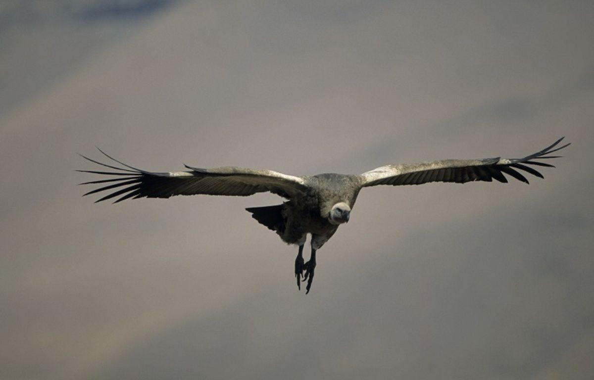 Illustration d'un vautour – ARDEA/MARY EVANS/SIPA