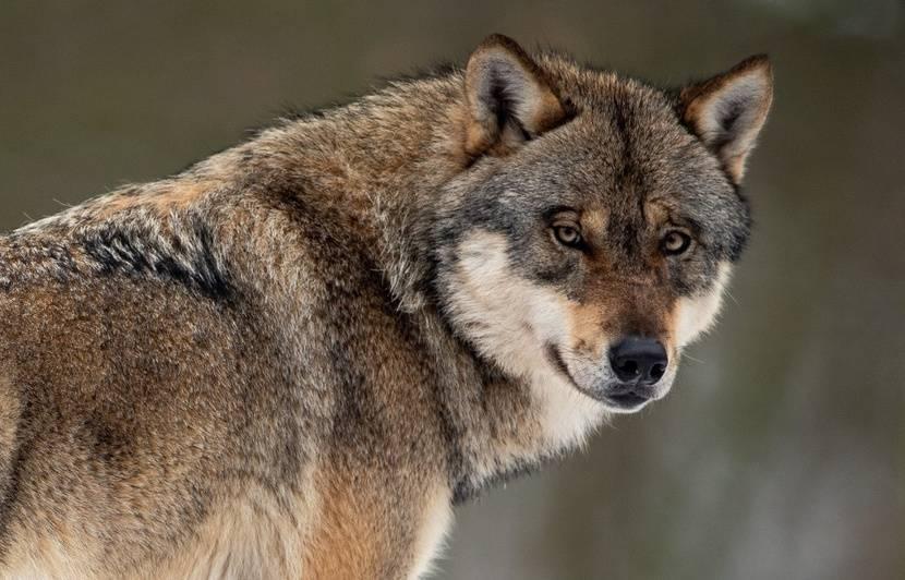 Indre : Le passage d'un loup solitaire identifié près de Châteauroux