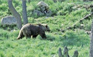Selon le rapport de l'équipe technique ours, 19 plantigrades vivent dans les Pyrénées.