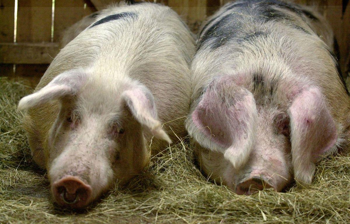 Illustration de cochons.  – MYCHELE DANIAU / AFP