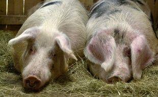 Illustration de cochons.
