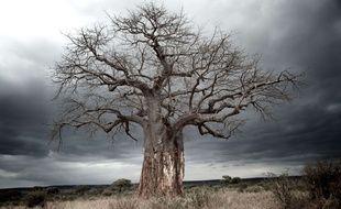 Les plus vieux baobabs d'Afrique se meurent selon une étude.