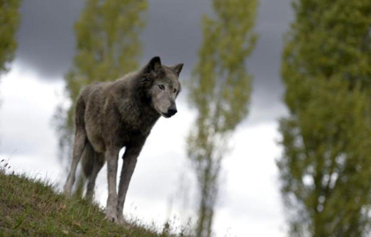 Un loup du parc Fauna Films, le 18 septembre 2013 à Villemer, en Seine-et-Marne – Miguel Medina AFP