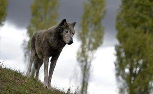 Un loup du parc Fauna Films, le 18 septembre 2013 à Villemer, en Seine-et-Marne