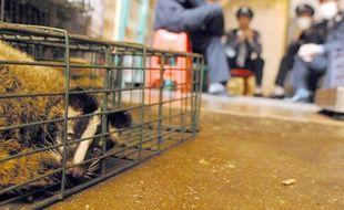 Une civette dans une cage, espèce soupçonnée d'être à l'origine de l'épidémie de coronavirus en Chine en 2003.