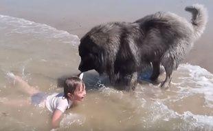 Ce charplanina est un sauveteur hors pair et a tiré de l'eau une fillette sur la plage de Gouville-sur-Mer.