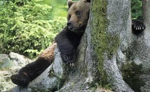 Un ours brun au réveil. Illustration.