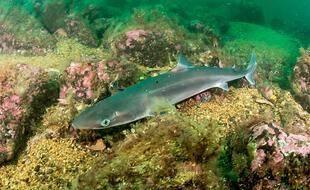 L'aiguillat commun est une espèce de petit requin très prisé pour la consommation