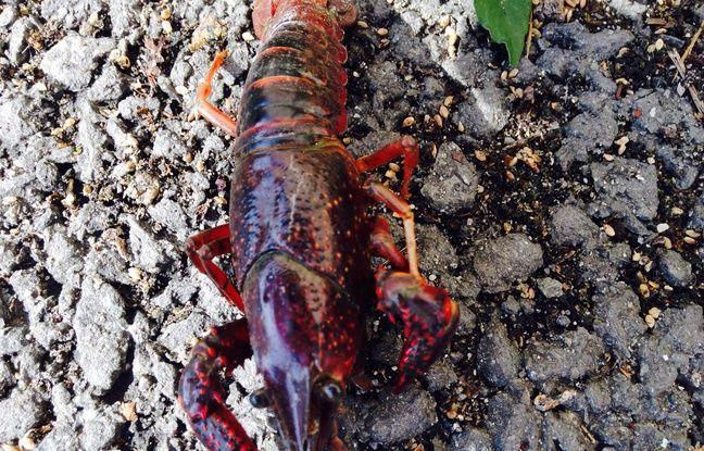 Une écrevisse de Louisiane trouvée dans le centre de Blanquefort (Gironde)