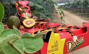 La première production de kiwis rouges de France, pousse sous des serres photovoltaïques dans le Lot-et-Garonne.