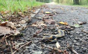 Une salamandre écrasée, ici à la Prévalaye, à Rennes.