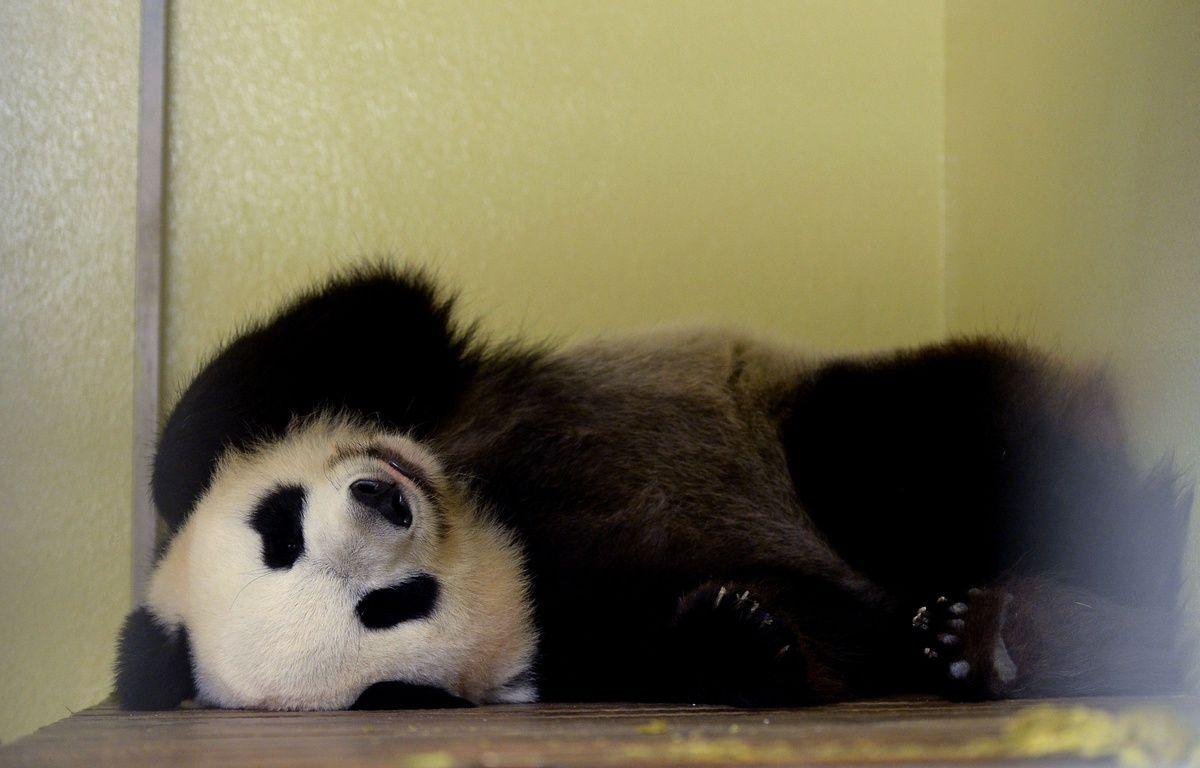 La femelle panda Huan Huan au zoo de Beauval le 25 juillet dernier. – AFP