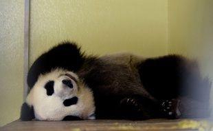 La femelle panda Huan Huan au zoo de Beauval le 25 juillet dernier.