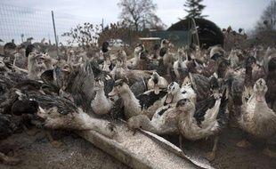 Un élevage de canards pour fabriquer du foie gras, dans le Gers.