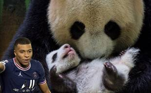 Parrain d'un bébé panda, si c'est pas la classe.