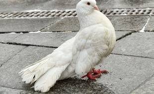 """Le """"pigeon espion"""" serait en réalité une colombe. (Photo d'illustration)."""