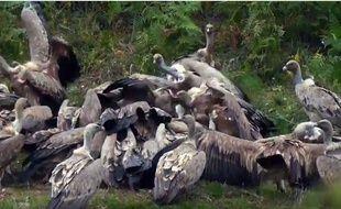 Le festin des vautours le 15 septembre 2016 à Artigues dans les Hautes-Pyrénées.