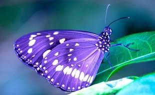 Les couleurs interviennent dans l'équilibre thermodynamique des papillons