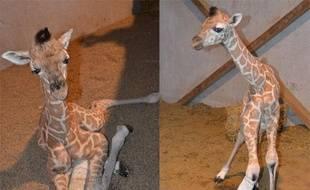 Un girafon femelle, née le 1er février 2012 au zoo Bellewaerde Park, plâtrée après avoir été blessée par sa mère.