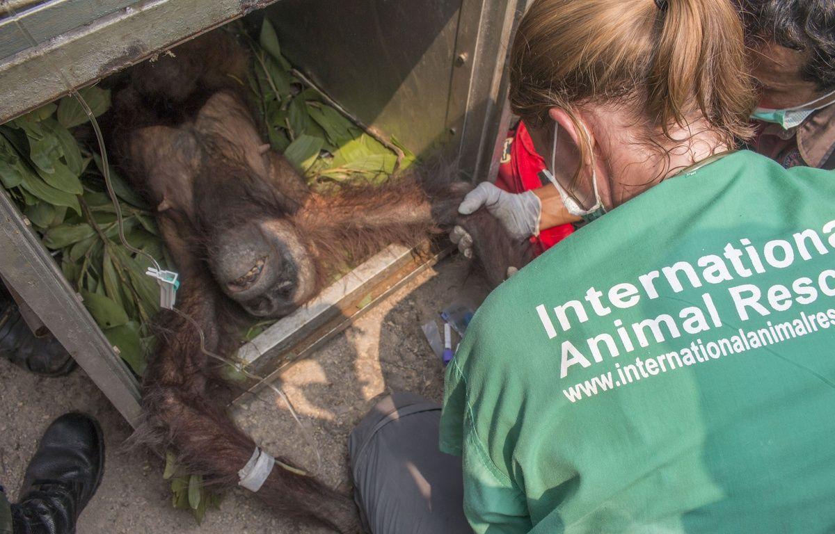 Une mère orang-outan récupérée en Indonésie dans un village après avoir fui les incendies de forêts, en novembre 2015. – HERIBERTUS / INTERNATIONAL ANIMAL RESCUE / AFP