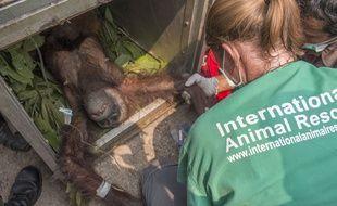 Une mère orang-outan récupérée en Indonésie dans un village après avoir fui les incendies de forêts, en novembre 2015.