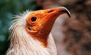 Le percnoptère d'Egype est le plus petit vautour présent en Europe, on le trouve notamment dans les Pyrénées ou les Cévennes.