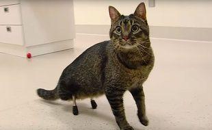 Né sans pattes arrière, Vincent le chat a reçu des implants dernier cri en titane.